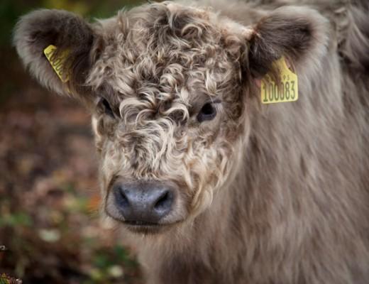 bovine1