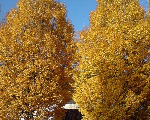 golden-trees