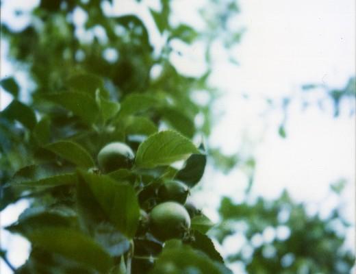 pola-apples