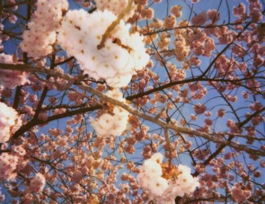 pola-blossoms