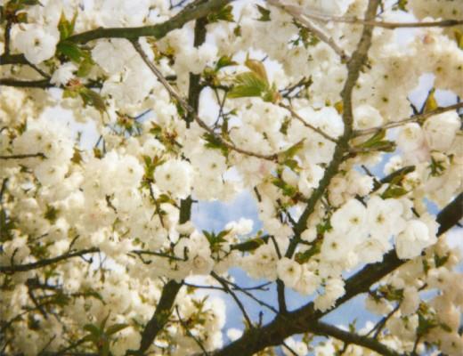 pola-blossoms-white