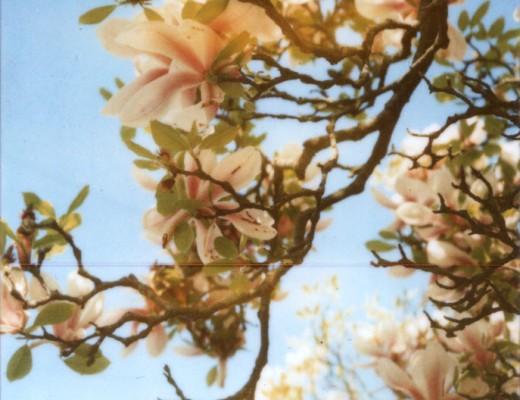pola-magnolia-1