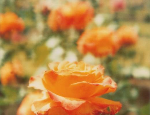 pola-rose