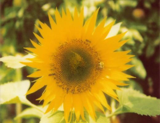 pola-sunflower