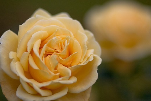 rose-canon-40d