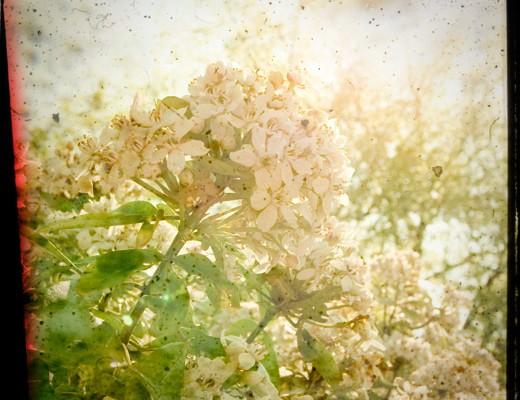 ttv-blossom