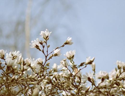 white-magnolias