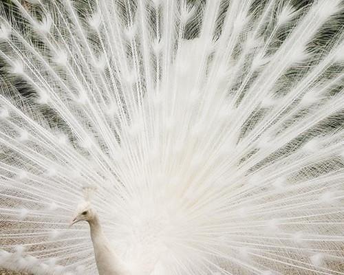white-peacock